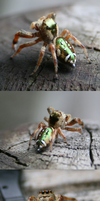 Iridescent green jumpingspider by ShadeeWolf