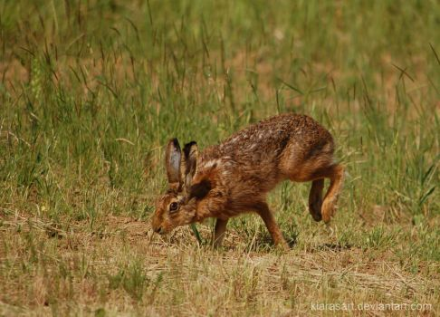 Hare running drawing - photo#26