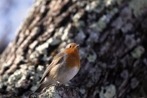 European Robin by dukefsc