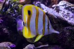 Butterfly Fish at Sydney Aquarium by Explosiveunderscore