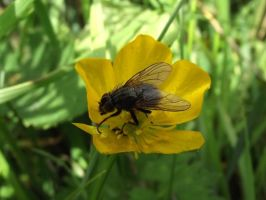 Fly on a flower by Birchall96