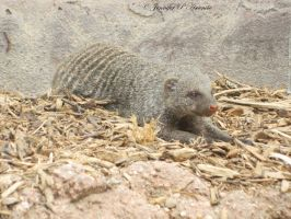 Mongoose by ILoveCP