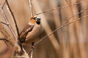 Hawfinch by DominikaAniola