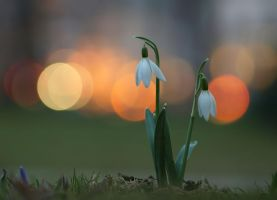 Galanthus in the evening city by orestART