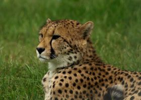 cheeta by JillvJ