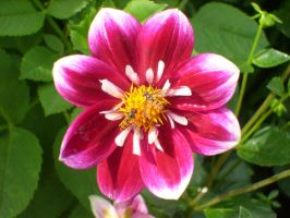pink dahlia with insects by ingeline-art