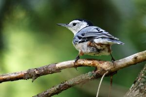 White-breasted Nuthatch by Jay-Co