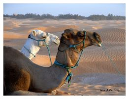 Camels by leire-and-Co