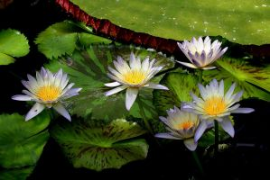 Water Lily 2 by kb3449