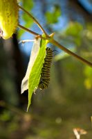 Caterpillar in Stripes by remyrob