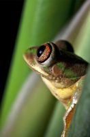 The Natal Forest Treefrog by karling69