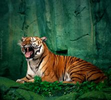 Tiger call by TlCphotography730