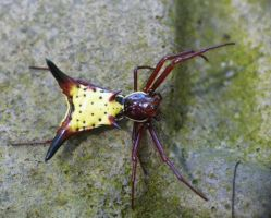 Arrowshaped Micrathena..., by duggiehoo