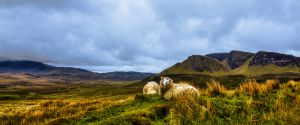 Sheep Guarding Quiriang, Isle of Skye, Scotland by Raiden316