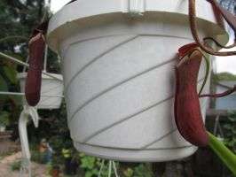 Nepenthes albomarginata red by Sorath-Rising