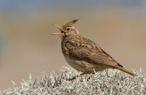 Ouch - Crested Lark by Jamie-MacArthur