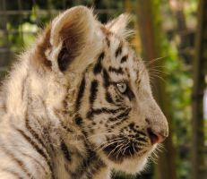 White Tiger Cub 2 by PhotosbyDante