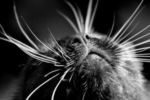 The Whiskers by LifesWaitingToBegin