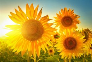 Sunflowers by ShoespieReviews