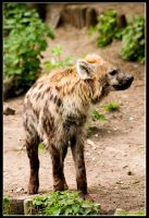 hyena by bundestaag