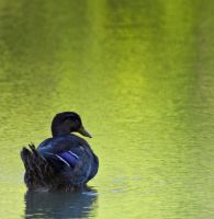 Duck on the water by Roland3791