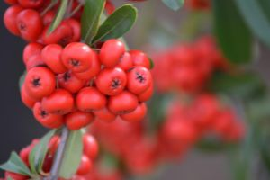 Pyracantha berries by comradedevmon