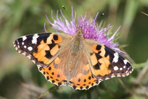 Painted Lady by Cantabrigian