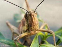 Grasshopper by Shutter-Shooter