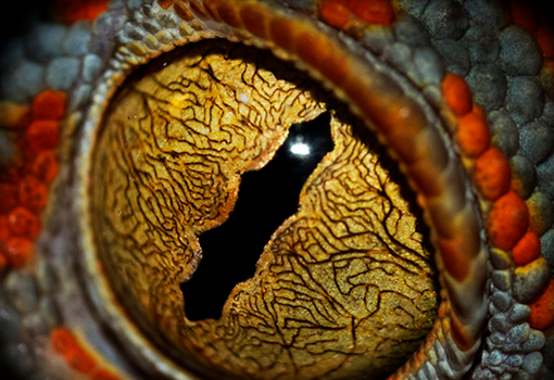 The Eye of the Tokay by ForsakenRaptor