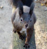 Squirrel 91 by Cundrie-la-Surziere