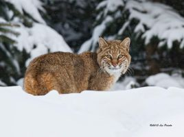 Winter Bobcat by Les-Piccolo
