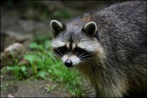 Raccoon 1 by Canisography