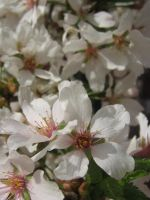 apple blossom 06 by CotyStock