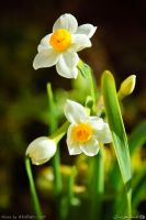 narcissus flower by AksBan