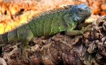 Green Iguana by SquirrelGirl111