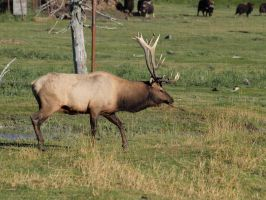 Elk 04 by Eltear-Stock