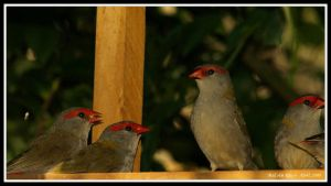Finch Feed Time by FireflyPhotosAust