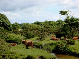 highland cattle 2 by Estruda