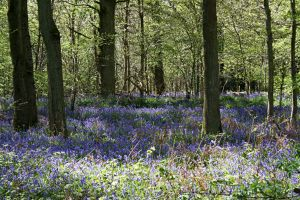Bluebell Woods 2 GothicBohemianStock by OghamMoon
