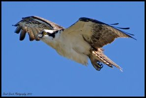 Osprey Visit by AirshowDave