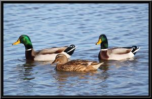 Mallards at Lake End Park by SalemCat