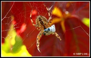 The not so itsy bitsy Spider by Strahan-Bad