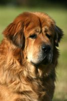 Fuzhu, the Tibetan Mastiff by SaNNaS