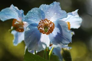 Himalayan Blue Poppy by aurionPhoG
