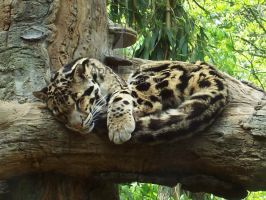 Clouded Leopard I by AprilDHallPhoto