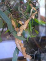 Stick Insect  2014 by lizardman22