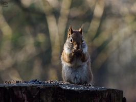 Red Squirrel by Sueki-Sueki-La