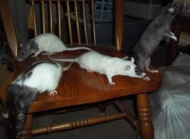Four Rats on a Chair by Greyman101