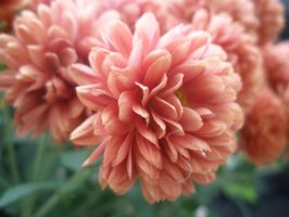 Chrysanthemum in Autumn by vamp-princess667