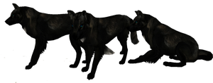 Realistic Black wolf preset Auction by WulfTheWolf